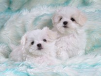 Two_white_puppies_on_light_blue_carpet[1]