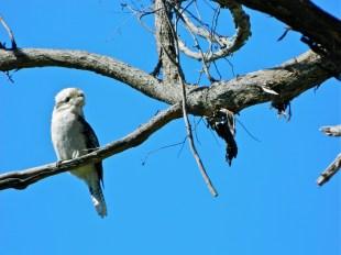 Kookaburra, Castle Hill