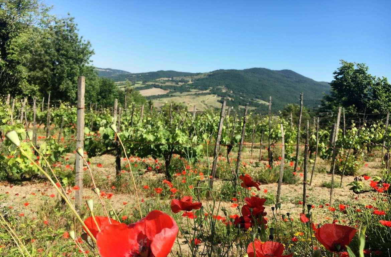 vingård-valmuer