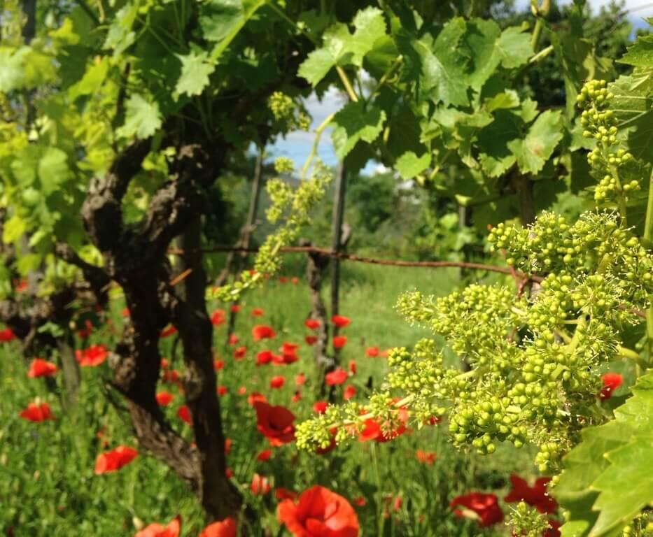 I juni kan du se druer i blomst på vingården. Hver blomst kan bli til en drue. Men de trenger riktig vær .