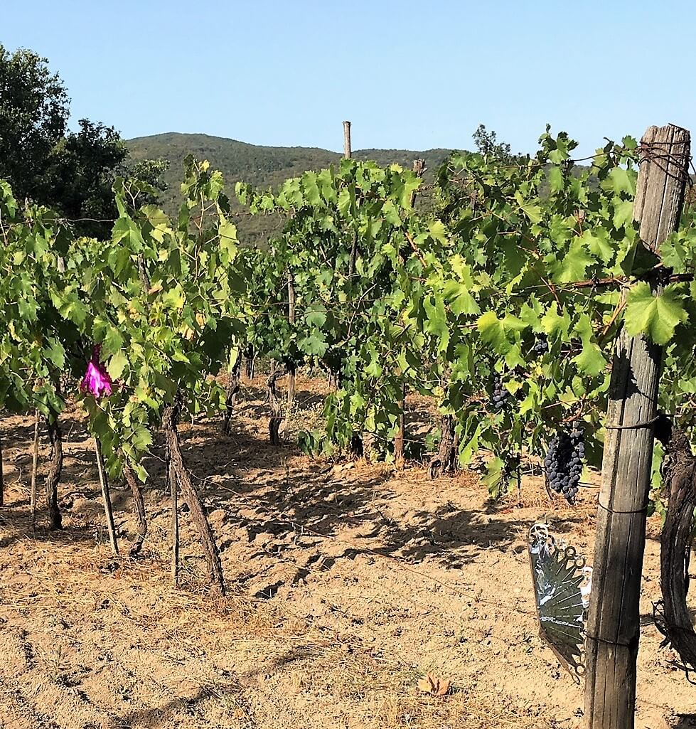 Wild boars eat grapes in our vineyard in Italy. Here you can see the destructions. We are now attempting to scare them away before harvest.