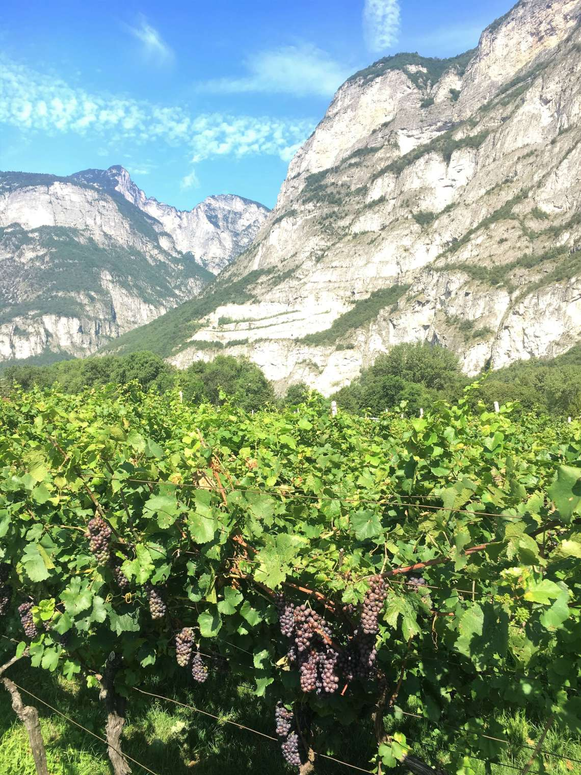 The extreme heat and dry climate this year may give Italian wine producers a reduction in grapes and wine this year. But perhaps may it lead to better wine?