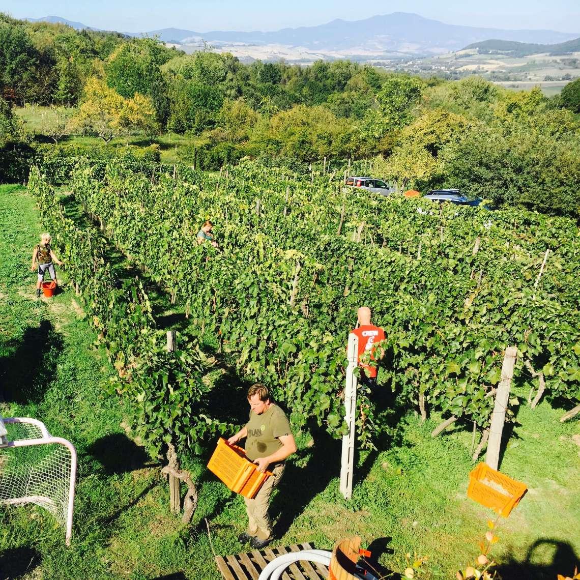 Det ble innhøsting av druer også i år på vingården i Acquapendente i Italia. Aldri har det vært så lite, men kanskje blir det tidenes beste vin?