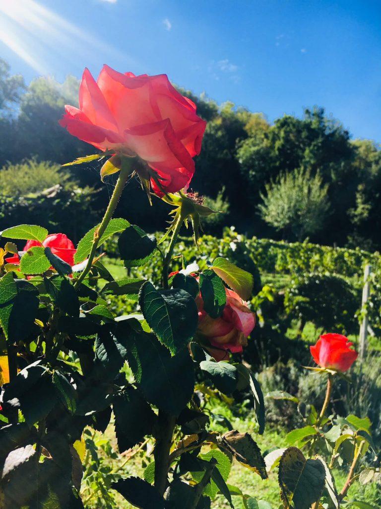 Med et hydrometer, også kalt mostimeter, kan vi måle sukker og alkohol i vin, eller mosten fra druer som gjærer. Det er et viktig instrument i vinproduksjonen. Druene er nå plukket, men rosene står forsatt.