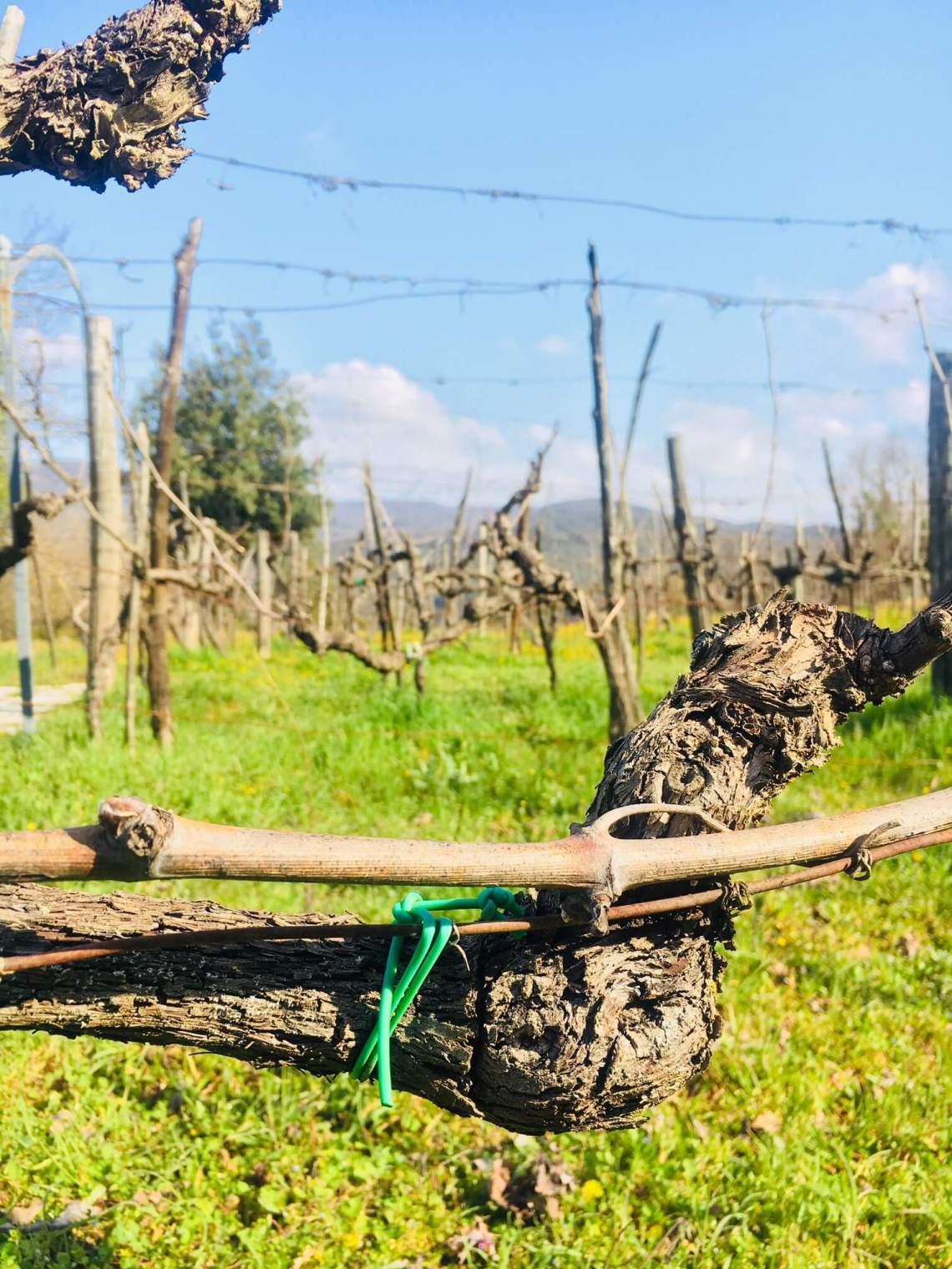 Målet med vingården er at den skal være mest mulig ren og fri for kjemikalier. Nå har vi tatt et valg - å gjeninnføre en gammel metode: Vi skal binde opp vinstokker med naturlig materiale som finnes på eiendommen. Det gledelige er at dette erstatter plast og gummi vi tidligere brukte.