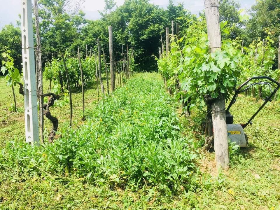 Hvor lang tid tar det fra druene høstes til den blir til drikkbar vin? 2017-årgangen fra vingården i Italia ga svært lite vin. 8 måneder etter innhøsting er det klart for smaking. Det er noen få, men edle dråper vin.