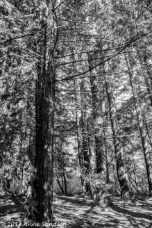 A black and white of the redwood trees.