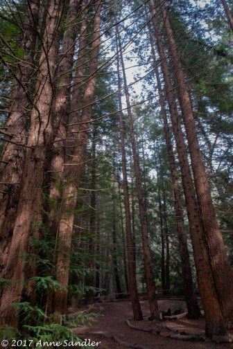 A color image of the redwoods.
