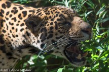 It's not often that we can get a shot of the jaguars. This is the male--I was told!