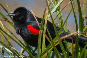 A red-winged black bird.