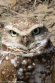 These owls are tiny and burrow underground.