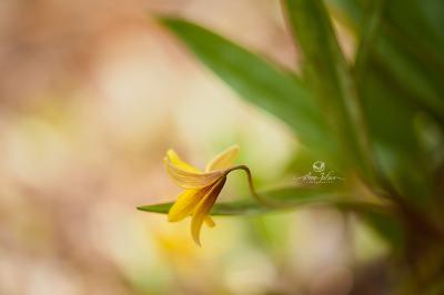 Érythrone d'Amérique, fleur de sous-bois