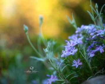 fleurs printanières, phlox
