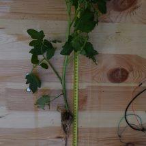 Tomato plant nr 3