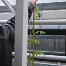 Tomato plant nr 4 (length: 73cm)
