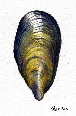 Mussel shell (Image and photo copyright: Anne Lawson 2015)