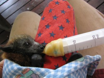 Little grey with syringe teat