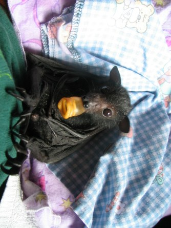 Black Flying-fox sucks his dummy