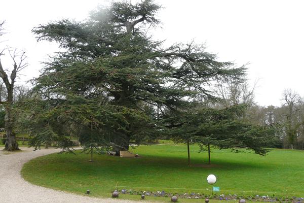 Cèdre du Liban, parc du Château de Madame de Graffigny à Villers (Lorraine)
