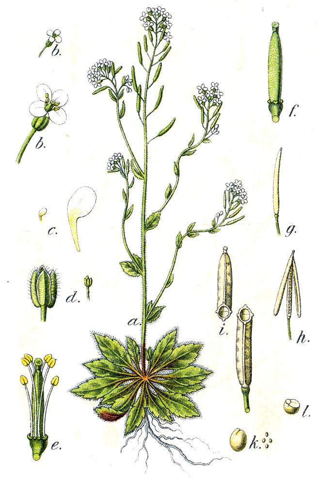 Arabidopsis botanical illustration