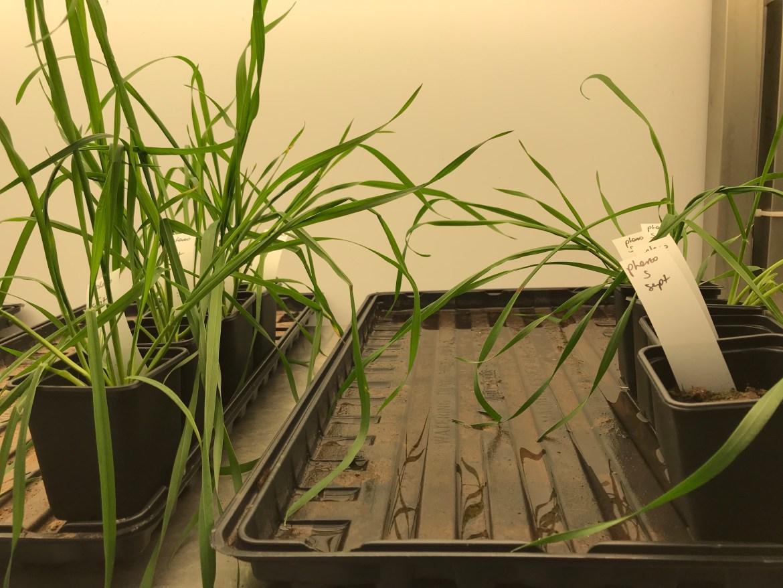 Wheat Seedlings