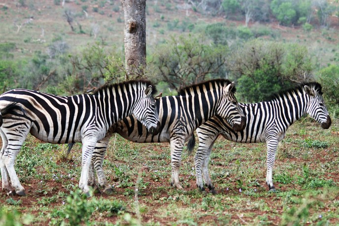 Colour therapy to trigger happiness Zebras at Hluhluwe Game Reserve