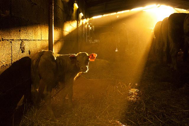 Vache - CP -