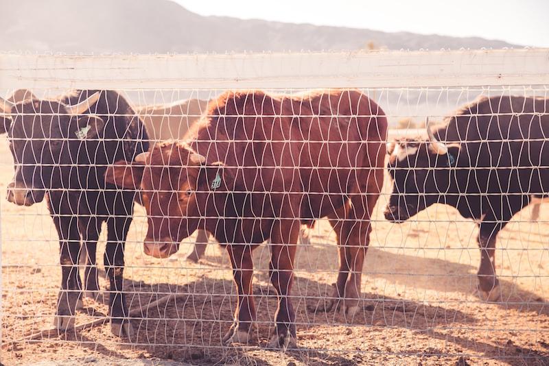 La production d'un kilo de boeuf consomme autant d'eau qu'une année de douche pour une personne...