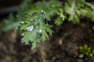 Curly kale with dew drop.