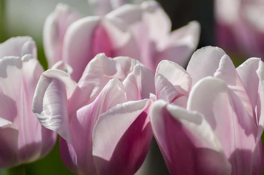 Romantic spring tulips