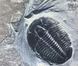 064 fossil hunting - whole trilobyte