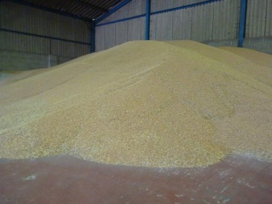 the wheat is taken back to the yard and tipped in the barn