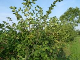 hedge Slamseys