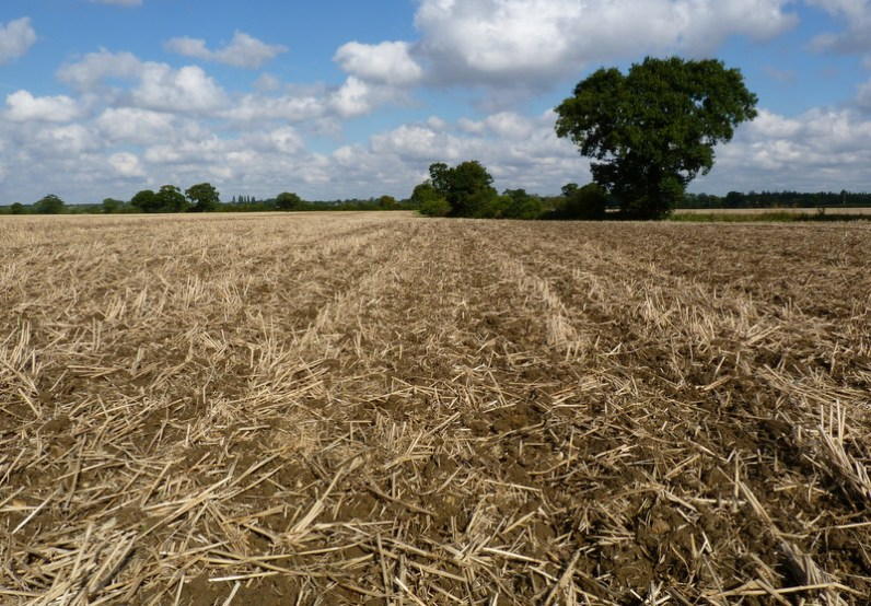 oilseed rape drilled in cultivated field