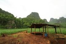 雨上がり。トウモロコシ畑の緑の鮮やかさが目に飛び込んでくる。