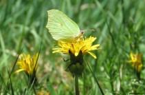 Citronfjäril / Gonepteryx rhamni