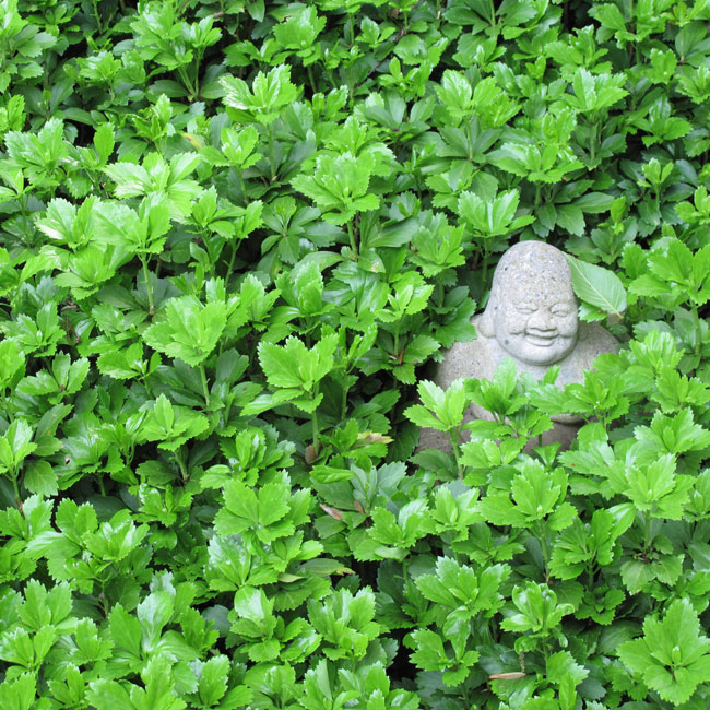 Web Design and Conceptual Development. Buddha in pachysandra.