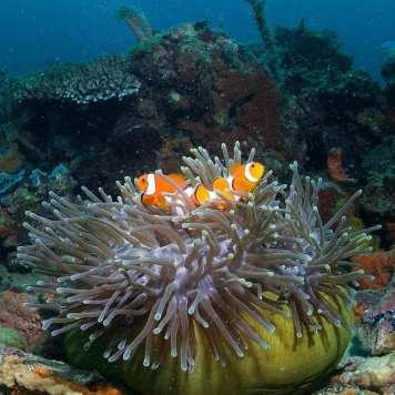 ob_affbf5_nic-8853-poissons-clowns-1