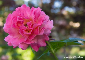 The Rose that Embodies Spring