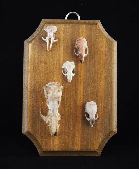 Imperfect Rodent Skulls