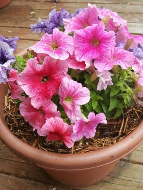 Pot of petunias - 1 of several
