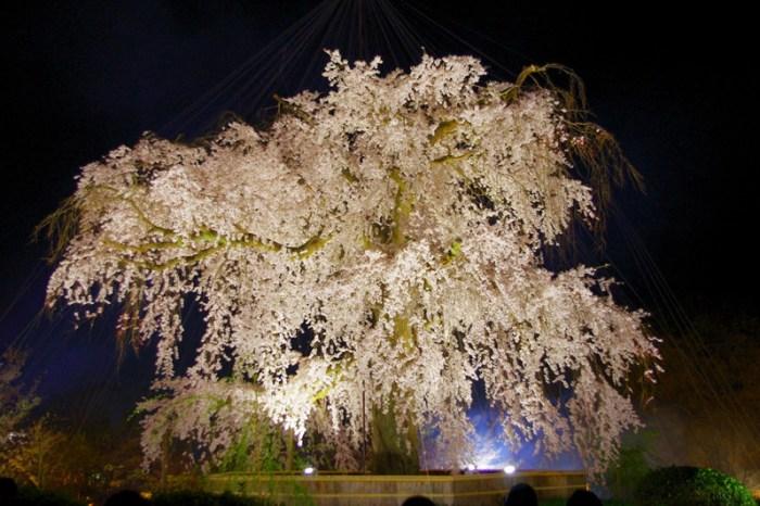 [2013花見] 垂櫻女王再現風采 – 京都 円山公園