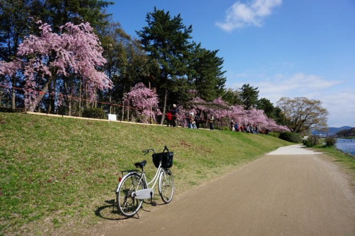 [2015櫻花] 京都 賀茂川旁半木之道 枝垂櫻