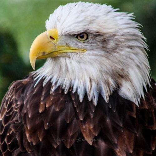 Wild Bald Eagles