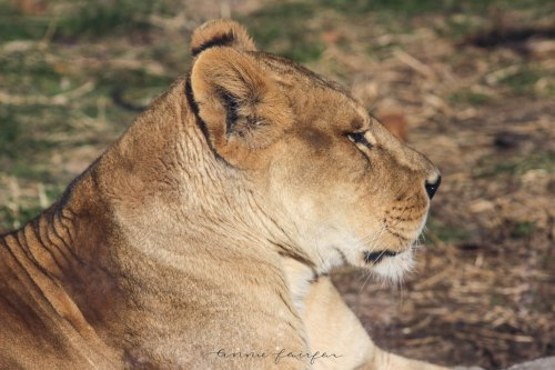 Lioness Photographed by Annie Fairfax