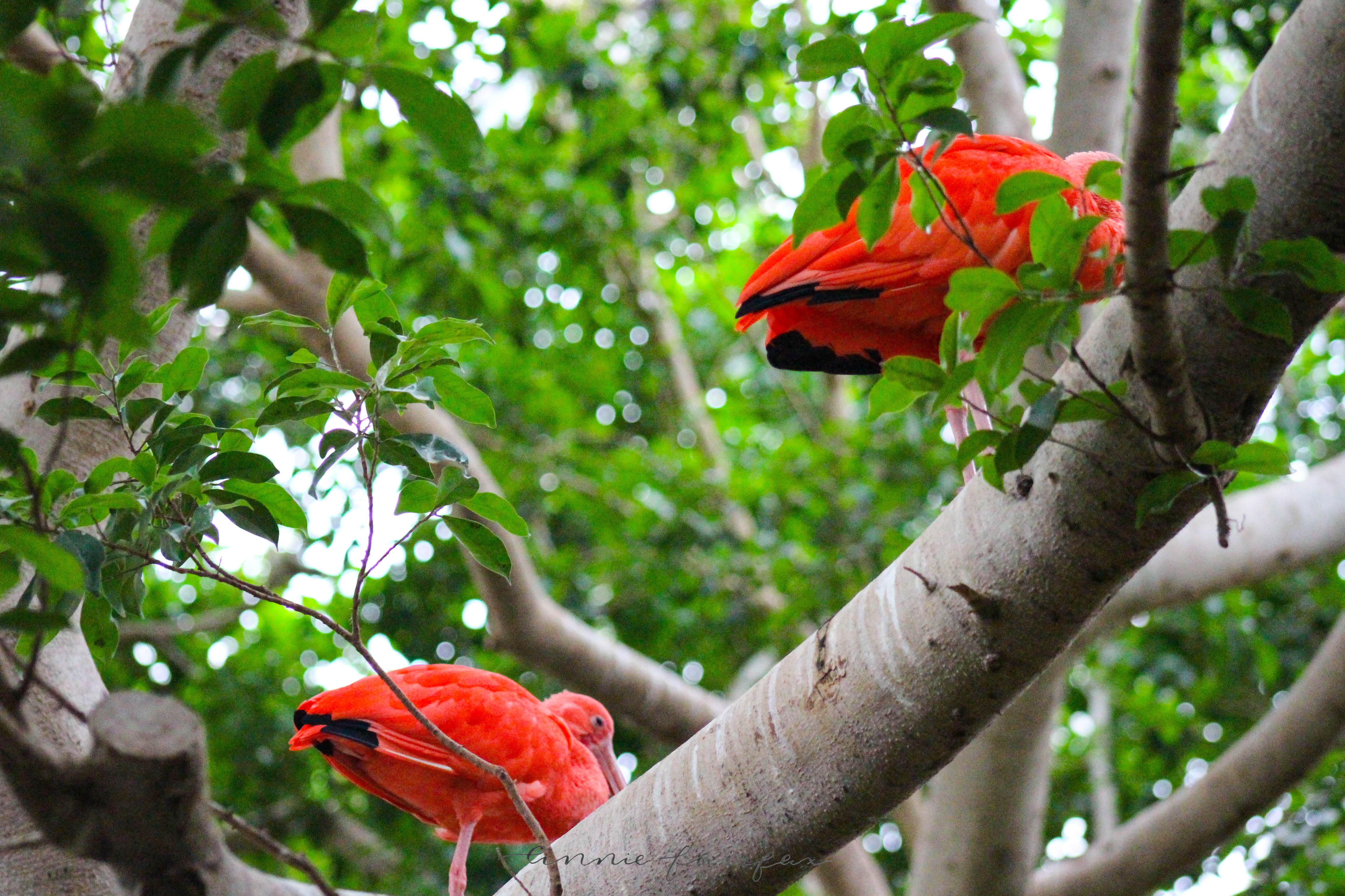 Scarlet Ibis via anniewearsit.com