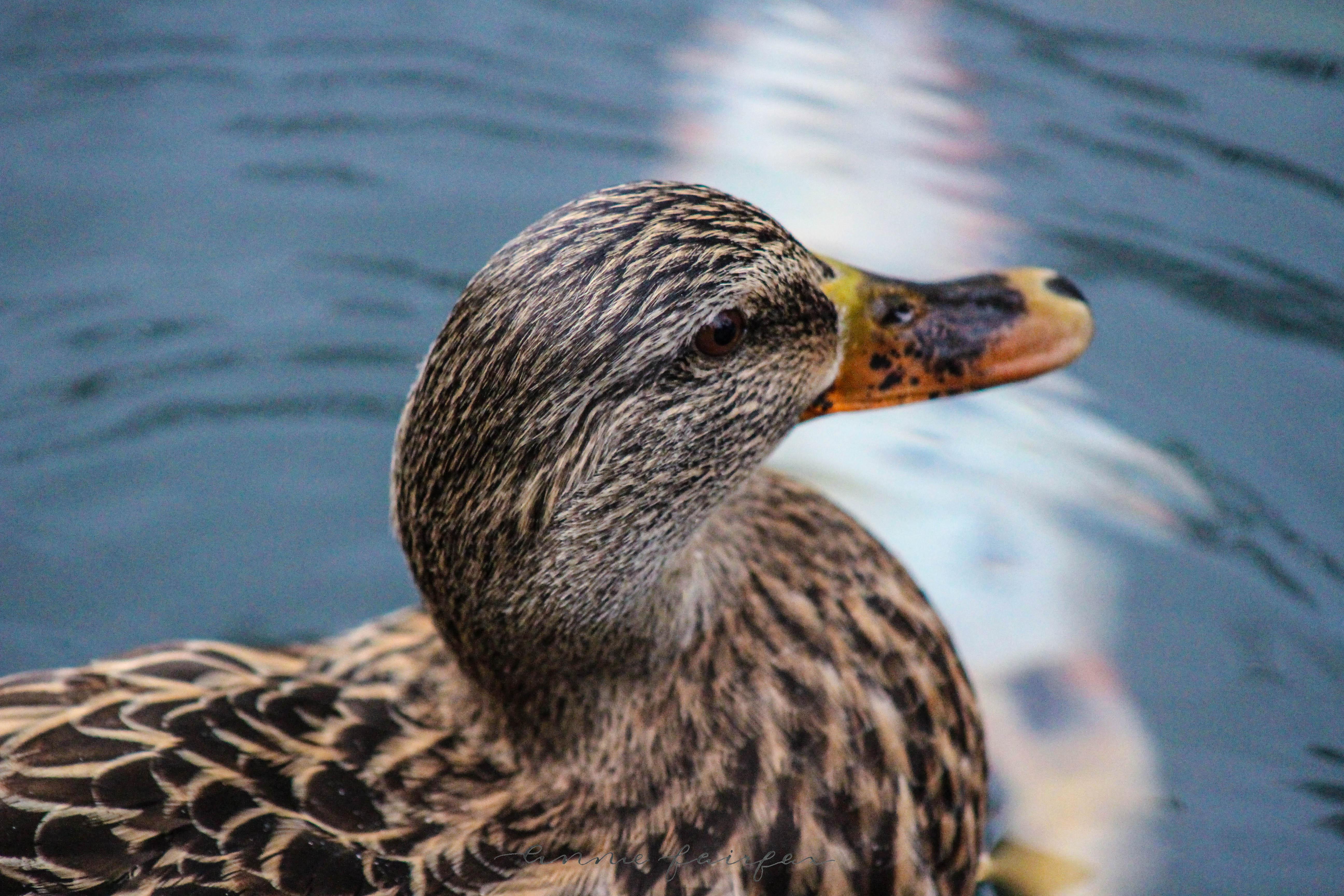 Ducks Photographed by Annie Fairfax