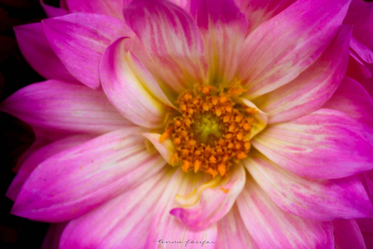 Dahlia Flower by Annie Fairfax
