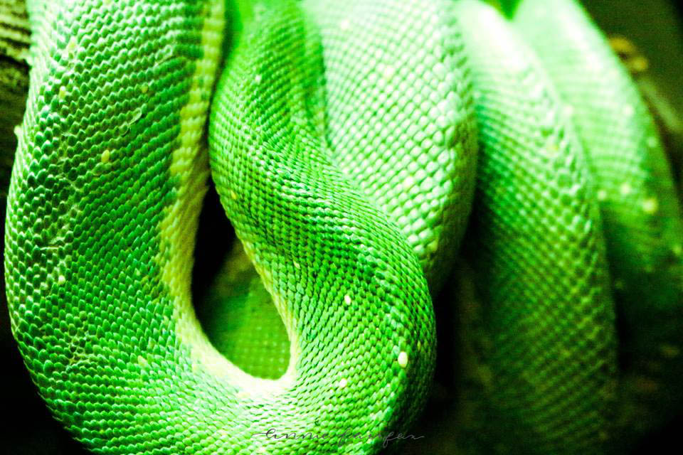 Green Tree Python by Annie Fairfax
