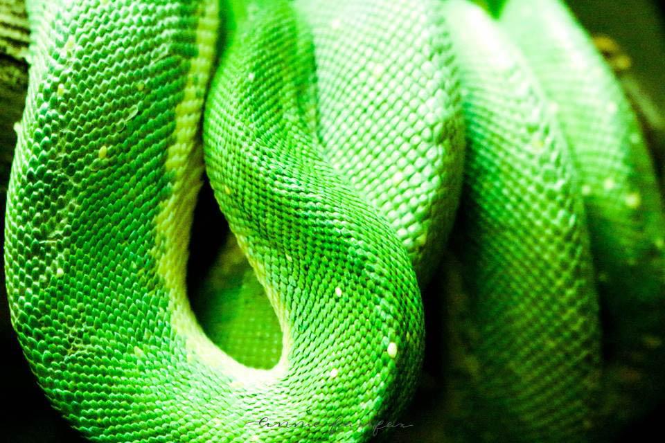 Green Tree Python by Annie Fairfax